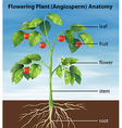 Parts of a tomato plant vector image vector image