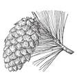 pine cone limber pine vintage vector image vector image