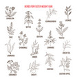 best herbs for faster weight gain vector image vector image