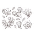 magnolia flowers sketch drawing botanical spring vector image
