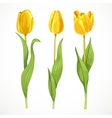 Three yellow flowers tulips isolated on a vector image vector image