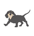 dachshund stands dog vector image vector image