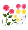 pink and yellow dahlia with outline vector image vector image