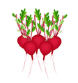 Stack of Radish Or Beet on White Background vector image vector image