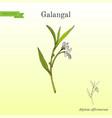 galangal alpinia officinarum medicinal plant vector image vector image