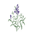 gorgeous baikal skullcap flowers and leaves hand vector image vector image