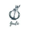 hand drawn garlic of vector image