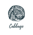hand drawn cabbage of vector image
