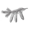 white spruce pine cone vintage vector image vector image