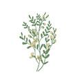 detailed botanical drawing of sphaerophysa salsula vector image