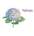 hydrangea vector image vector image