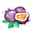 Watercolor of isolated passion fruit vector image