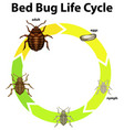 diagram showing life cycle bed bug vector image vector image