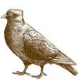 engraving antique dove bird vector image vector image