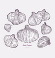 red onion collection hand draw sketch vector image vector image