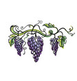 watercolor ripe grape with leaves isolated on vector image