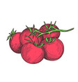 fresh tomato hand drawn isolated icon vector image