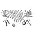 branch juglans rupestris vintage vector image vector image