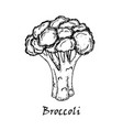 broccoli drawing isolated on white background vector image