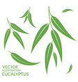 Eucalyptus Isolated leaves on white vector image