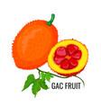 gac fruit healthy orange vegetarian jackfruit vector image