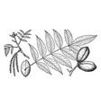branch hicoria texana vintage vector image vector image