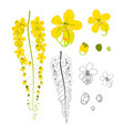 cassia fistula - gloden shower flower with sketch vector image vector image