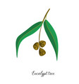 drawing branch eucalypt tree vector image vector image