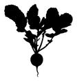 radish vector image vector image