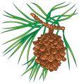 pine tree cone vector image vector image