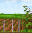 vineyard growing harvest beautiful summer vector image vector image