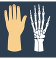 The flat design of the hand and the hand skeleton vector image