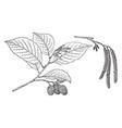 branch of arizona alder vintage vector image vector image