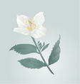 Twig jasmine flower with leaves vector image
