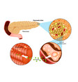 insulin production in the pancrea vector image vector image