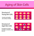 two types of skin cells young and aged skin vector image vector image