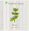 melissa essential oil label aromatic plant vector image vector image