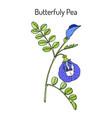 butterfly pea litoria ternatea or bluebellvine vector image