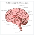 Structure of human brain section schematic vector image vector image