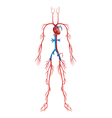 Circulatory System vector image vector image