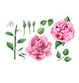 set collection rose flowers petals and leaves vector image