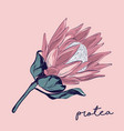 protea hand-drawn flower botanical wedding vector image vector image