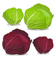 the cabbage vector image vector image