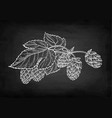 chalk sketch of hops vector image vector image