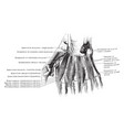 dorsal interosseous muscles of the hand vintage vector image vector image