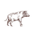 wild boar swine or pig hand drawn with contour vector image