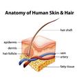 Anatomy of Human Skin and Hair vector image