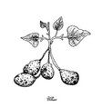 hand drawn of ullucus tuberosus on a white backgro vector image vector image