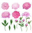 floral elements set pink blooming peony flowers vector image
