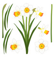 daffodill - narcissus isolated on vector image